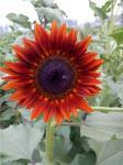 16个切花新品种月底亮相植物新品种新技术拍卖会
