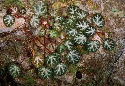 昆明植物所在越南北部和中国南部发现7个秋海棠新种