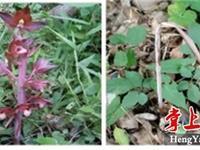 """湖南南岳景区发现植物新品种""""无叶美冠兰"""""""