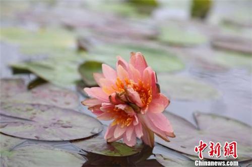 广州莲花山发现一株三蒂睡莲