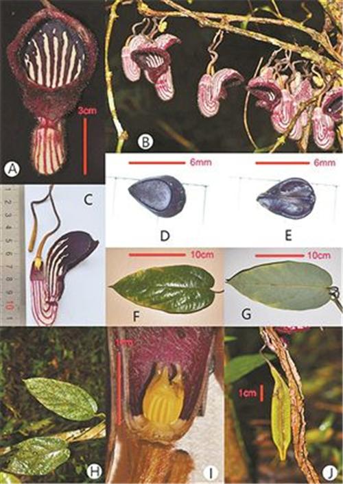 a-c:花,茎,花的内部结构;d-e:种子;f-h:叶片的正面及背面;i:花柱;j