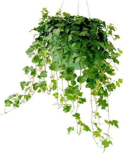 """室内的天然空气净化器 七款""""吸毒""""植物"""