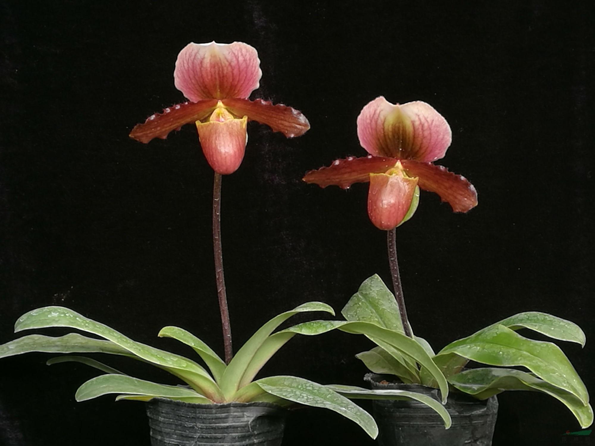 昆明植物所又添兜兰新品种