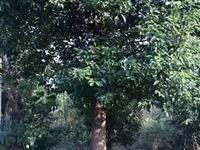 【急售】安徽安庆蓝雪林业有限公司低价出售一批香樟无患子