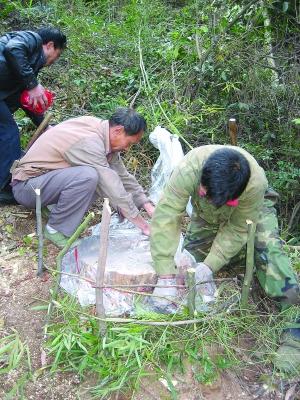 上饶:虫害威胁云碧峰森林公园松林 林业厅批准砍伐