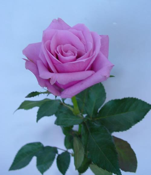 12朵紫玫瑰花语_紫色玫瑰代表什么_紫玫瑰_紫色玫瑰_淘宝学堂