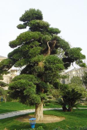 有一棵树特别吸引人的眼球,它价值60万元,树名叫 罗汉松.