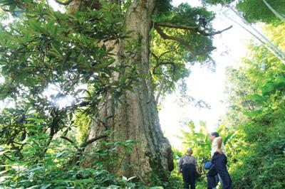 相关链接:香楠属楠木三大品种之一