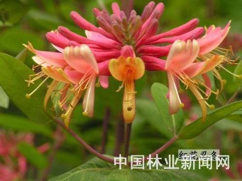 新品推荐:优美花灌木——红花忍冬(图)
