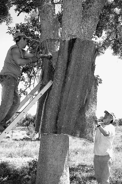 """来自栓皮栎的神奇""""软木"""" 葡萄牙的国宝(图)"""