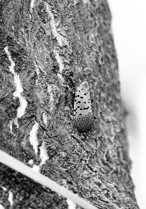 """""""生长在槐树上的国槐尺蠖等一些食叶害虫"""