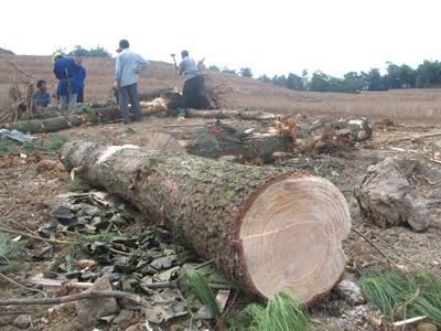 贵阳:乌当区成片的大树被砍伐 被伐树木被埋在泥地下