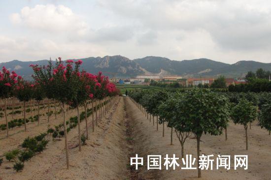 山东推出首家高标准苗木生产基地—奥孚集团苗木公司