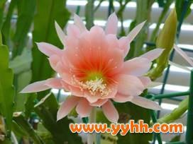 方法 令箭荷花/中国园林网10月12日消息:令箭荷花是家庭养殖的常见花卉,令箭...