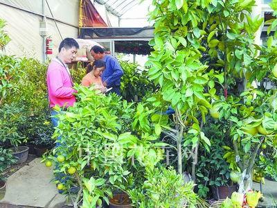 浙江金华新型花木基地的郭彩珍表示,秋季大多数盆栽果树是自然挂果,价