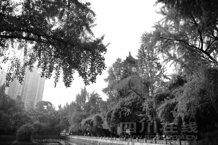 四川大学华西医学院荷花池附近,成片的银杏给校园增色不少-成都