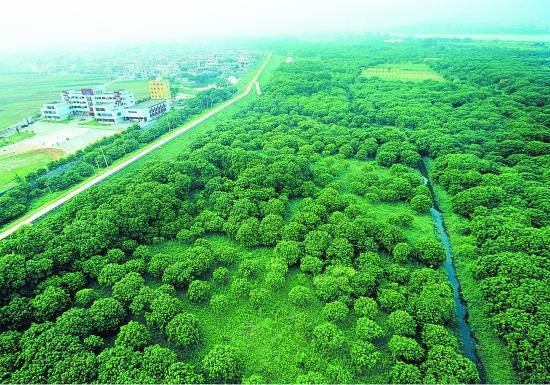 位于晋江流域鲤城区金龙街道段防洪堤内的成片龙眼树林,一片绿意盎然.