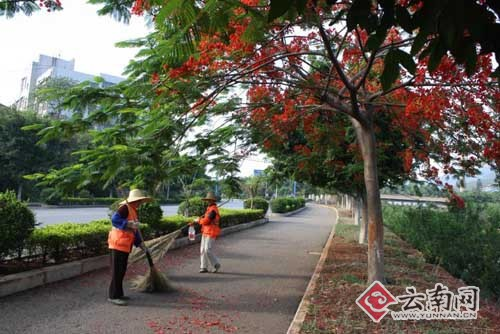 云南:开远凤凰花开红似火 地上的花瓣是否要天天扫?