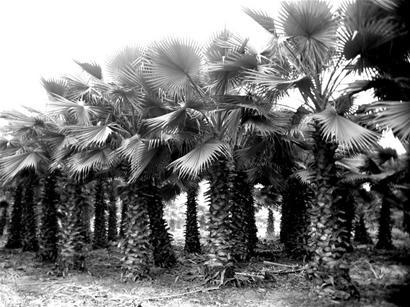 四川 卖南国风情 棕榈受热捧 园林资讯 中国园林网