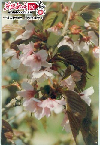 兴隆雾灵山生长着中国樱花 中国樱花早日本千年