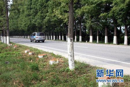 巨资购买、移栽银杏树,美化汉中城区道路.   秦岭南麓的汉中市辖10