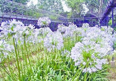 """有着""""爱情之花""""的美誉,是欧式庭院里普遍种植的花卉之一"""