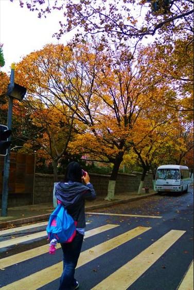 青岛八大关银杏黄了枫叶红了