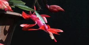 盛开的蟹瓜兰,成为人们办公桌上最喜爱的摆设之一。