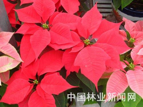 那些和圣诞节有关的花儿