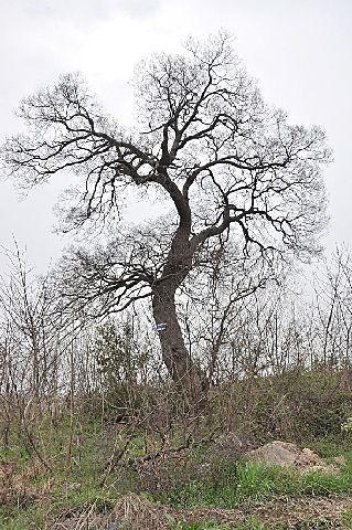 图为叶氏宗祠附近一棵生长在杂树丛中的古朴树