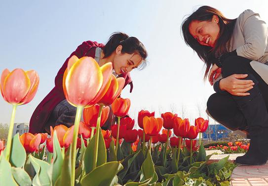 连云港振兴花卉园100万株郁金香近日迎春盛开,每天都吸引众多市民前来