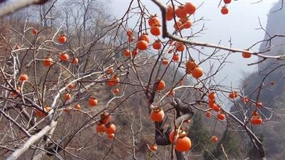 柿树休眠期害虫防治