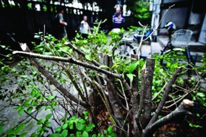桂花树被拦腰砍断,居民感到十分遗憾