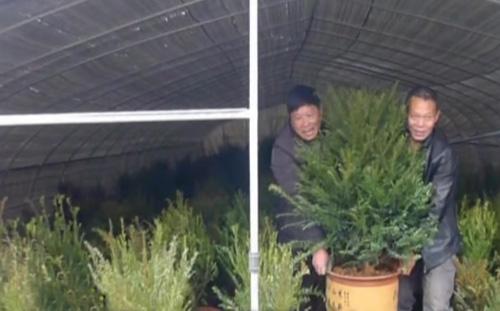 引种红豆杉