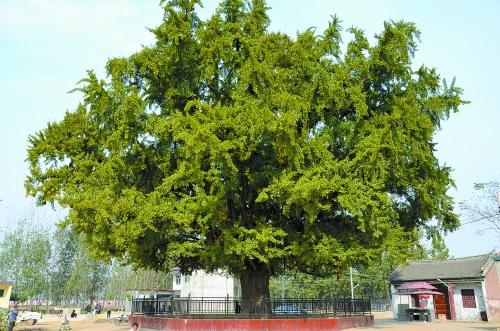 河南:商丘一棵西汉银杏树 已有2000多岁