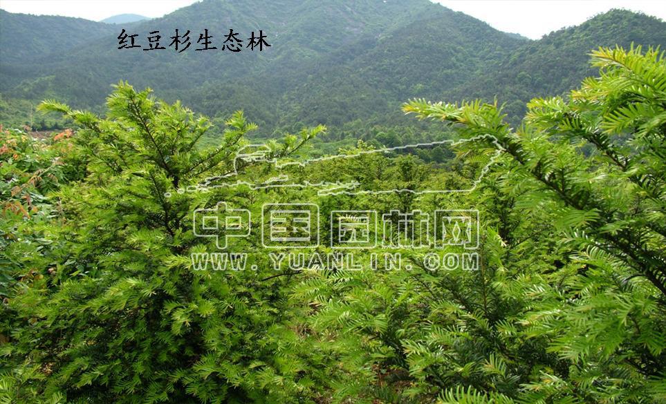 红豆杉 健康/立体绿化健康树红豆杉种养技术创新