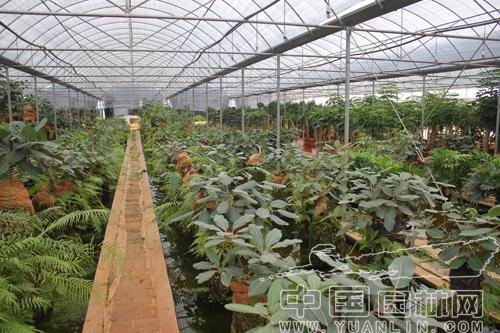 云南吉成园林科技有限公司林木基地