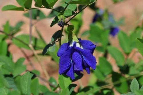 花如蝴蝶,色彩浓艳的豆科植物