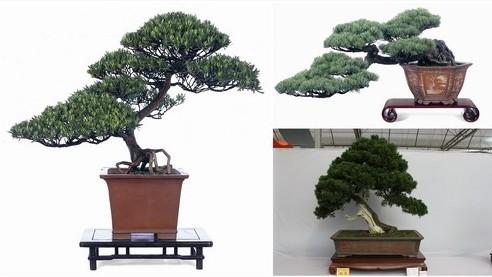上海/左:罗汉松盆景右上:五针松盆景右下:真柏盆景