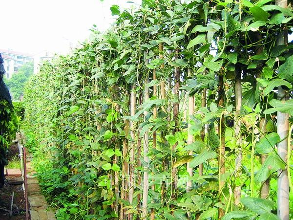 藤蔓植物用于垂直绿化