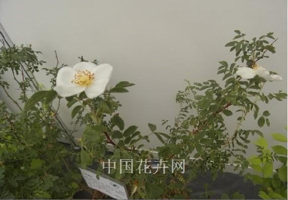 新优植物推荐 ——大果蔷薇