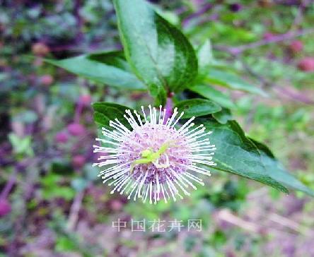 水杨梅的花