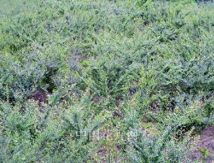 苗圃内大片种植的水杨梅