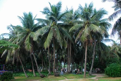 海南省树省花评选:椰子树最热门 三角梅和九里香争艳
