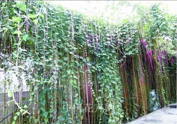水肥一体化栽培技术助锦屏藤快长