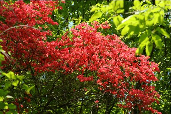 河南汝陽西泰山的杜鵑怒放 滿山紅艷似火