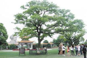 如今橘子洲頭的古樸樹已成為游客合影留念的景點