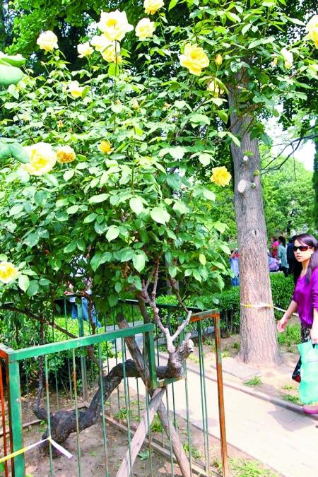郑州月季公园六旬月季花亦艳 引得游人叹