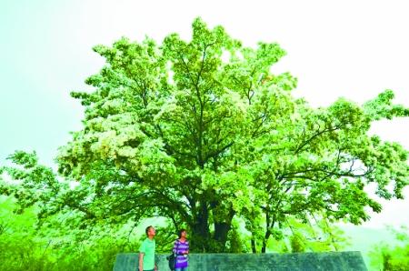河南焦作一颗古流苏树开花 已生长了800年