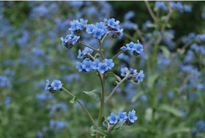 蓝布裙,蓝花参